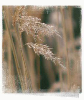 Reeds in Britzergarten - by SL Wong