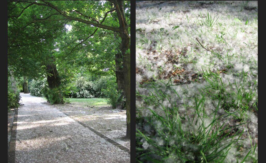 For those not allergic to pollen, <em>Poppelnflaum</em> (poplar fluff) is a magical sight. - <em>by SL Wong</em>