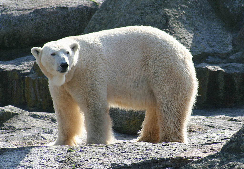 Knut is commemorated with statues of him at the Zoo and the Berlin Museum of Natural History. - <em>by Jane Mandal</em>